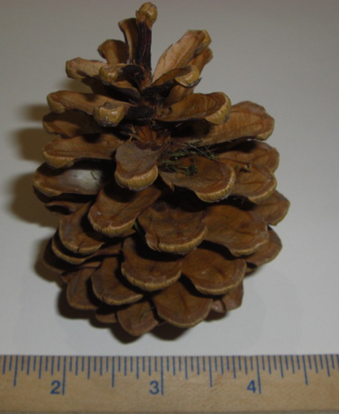 Large Pine Cone